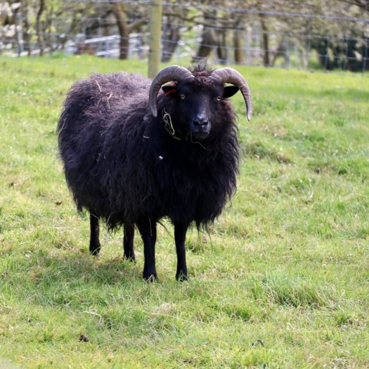 Ten Scottish Superstitions black sheep