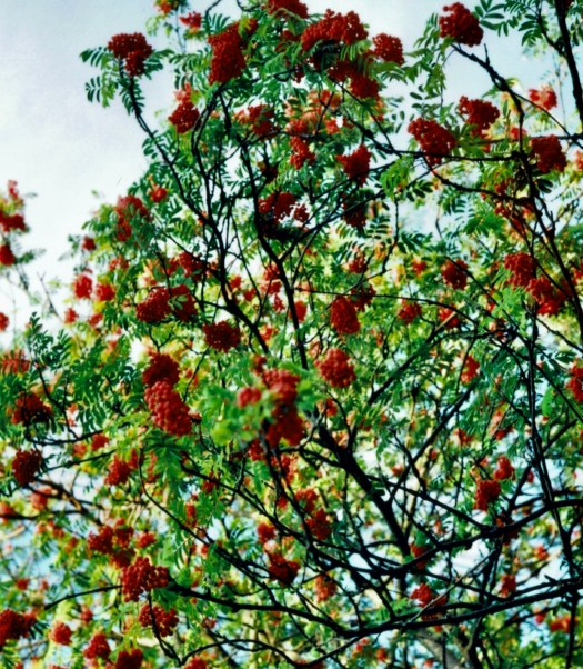 Ten Scottish Superstitions rowan tree