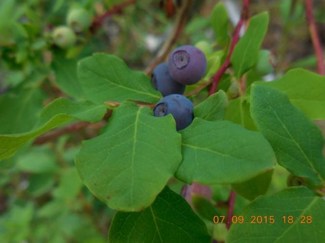 grewingk blueberry