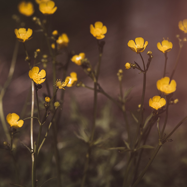 Buttercup Blooms