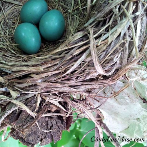 Robin's eggs in Spring
