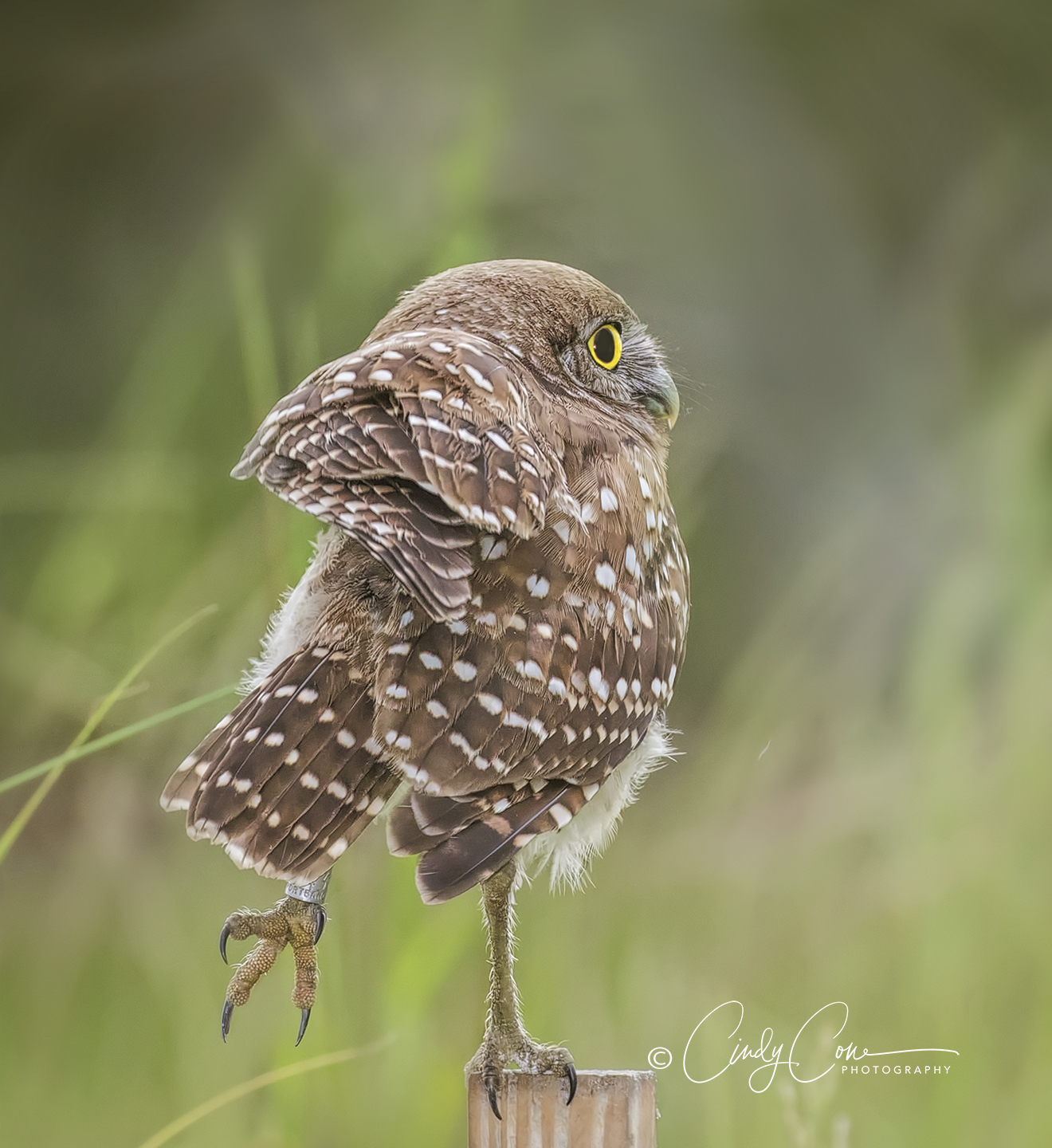 Cape Coral burrowing owl balancing on a post.