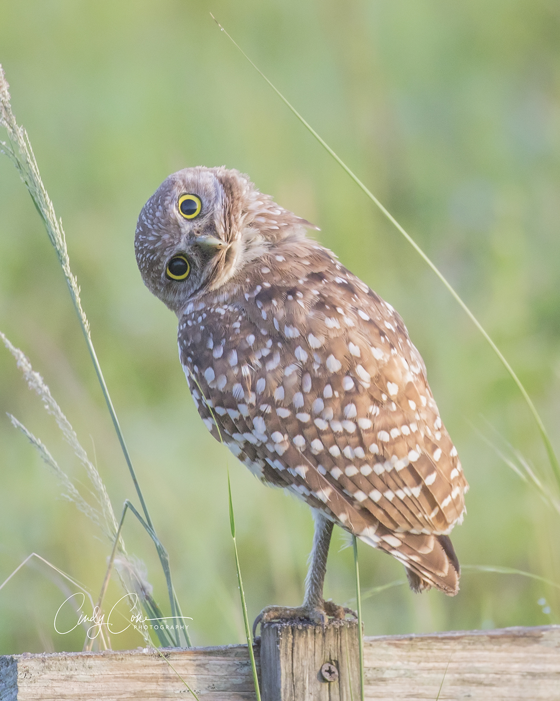 Quizzical burrowing owl, Cape Coral, Florida