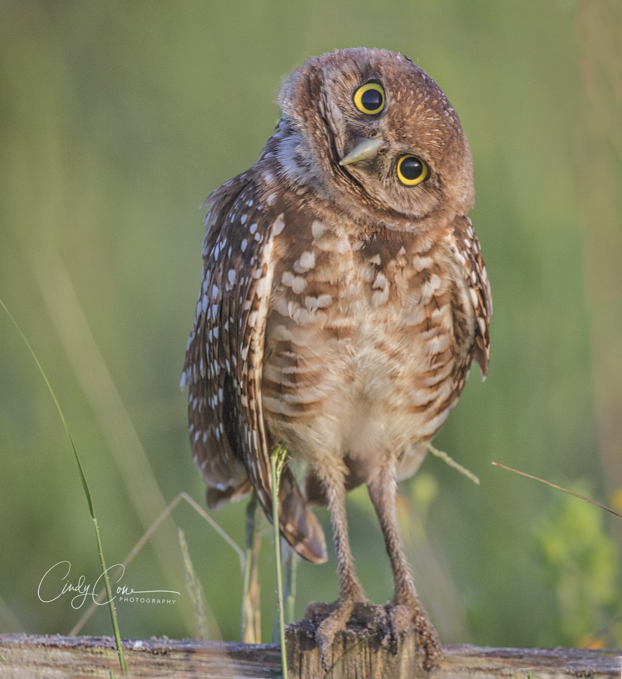 Quizzical look by burrowing owl, Cape Coral, Florida