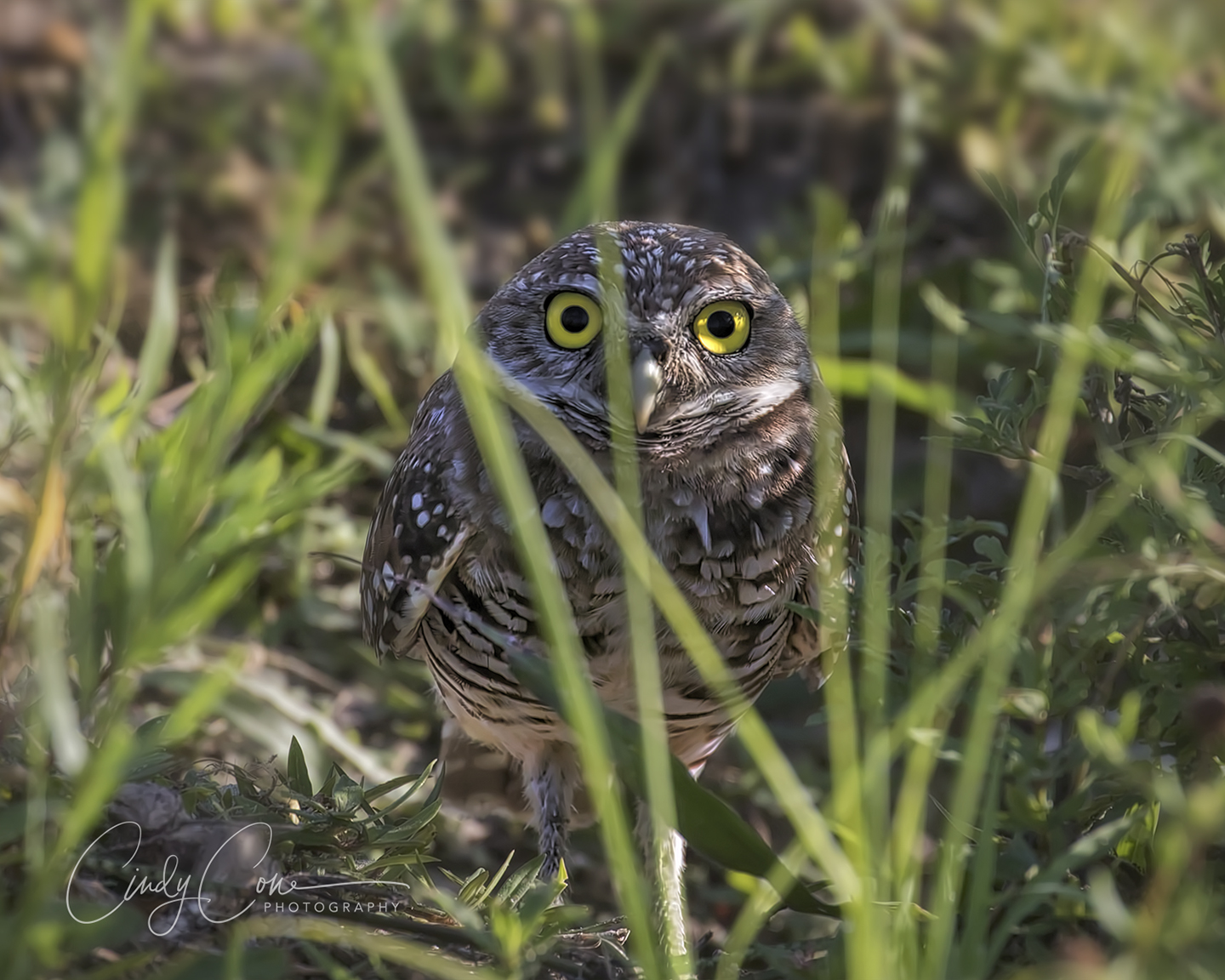 A burrowing owl behind the grass, Cape Coral, Florida