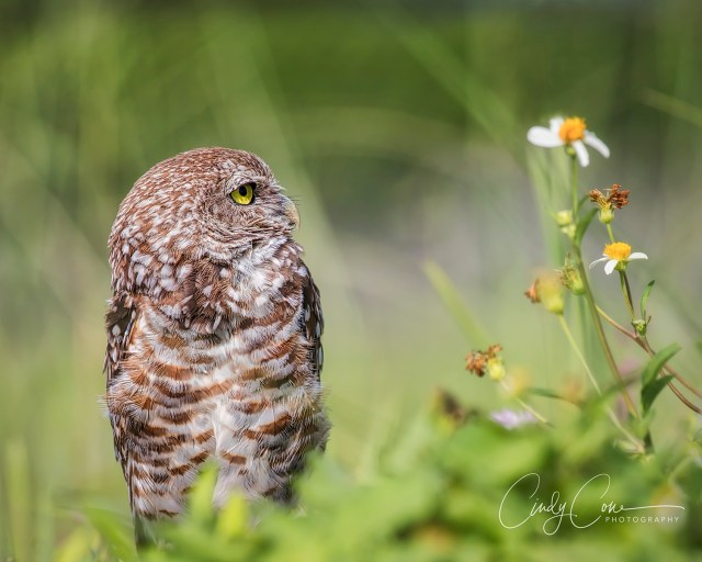 Cape Coral burrowing owl next to wildflower.
