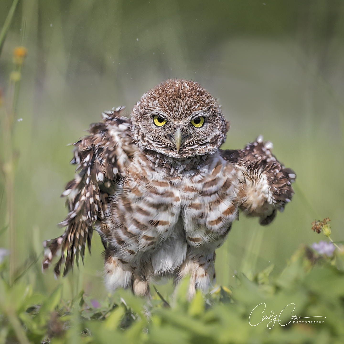 Cape Coral burrowing owl, stretching its wings.
