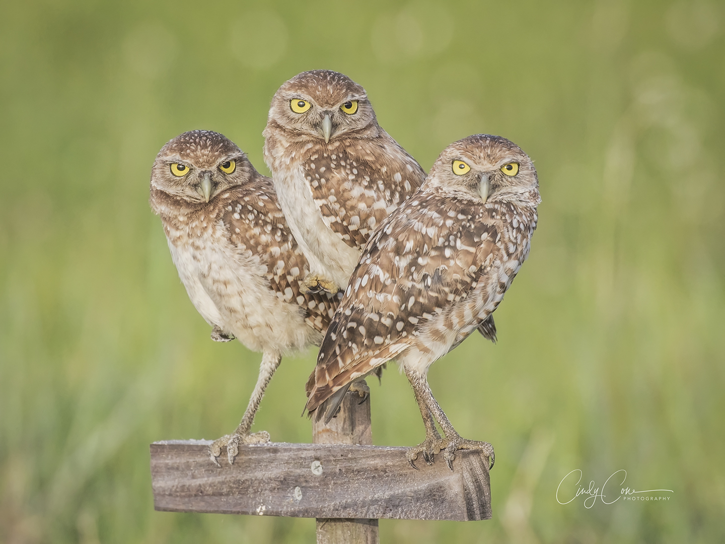 Trio of burrowing owls, Cape Coral Florida.