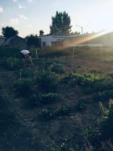 Dave weeding the garden.