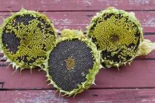 3 sunflowers drying