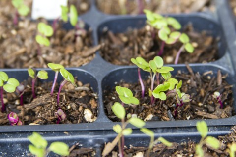 sprouted kale