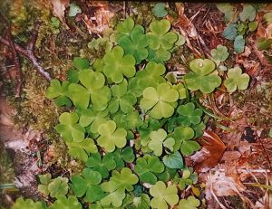 Irish shamrock photo by Genese Blomquist Sweeney