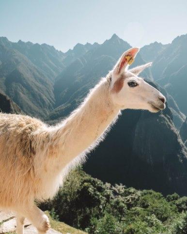 cute llama in Machu Picchu Peru