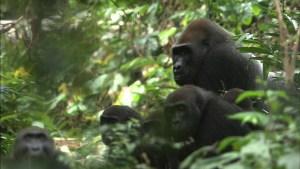 【画像】映画『劇場版 ダーウィンが来た! アフリカ新伝説』場面カット (ゴリラ)