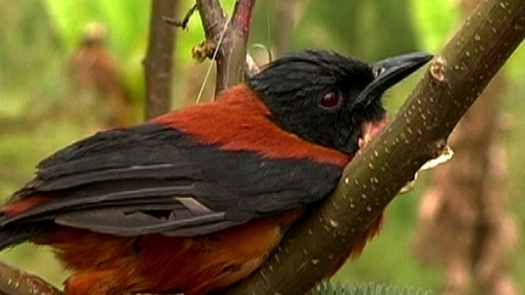 Pitohuí, el único pájaro venenoso del mundo