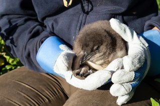 Another (a bit older) penguin chick that got to see the sunlight because of us :-)