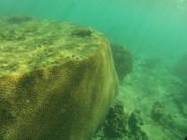 Huge coral!