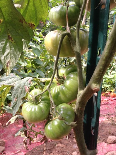 BB Barns Garden Center, Garden Tour, Hops, Transplanted and Still Blooming, Cinthia Milner
