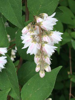 Dueztia (the non-dwarf variety).