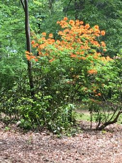 Deciduous azaleas.