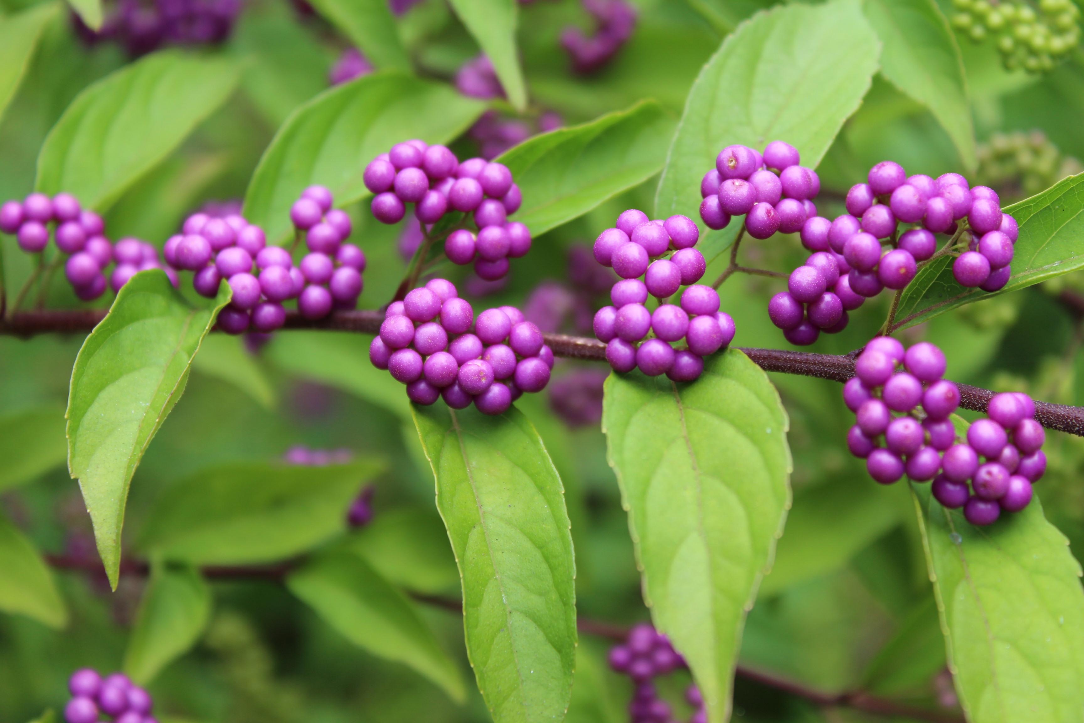 Purple beauty berry.