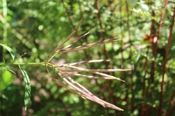 Seed pods of amsonia