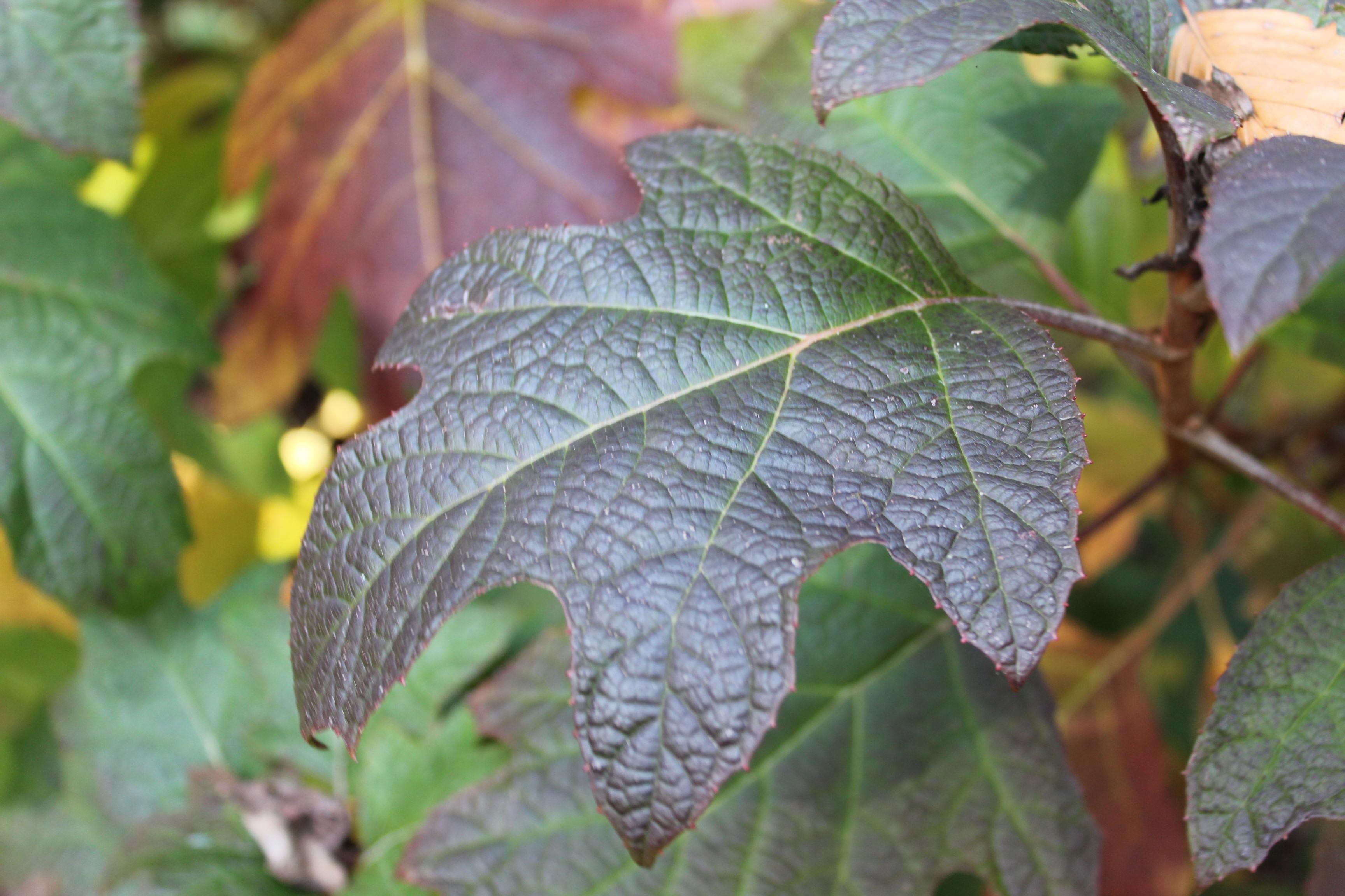 Fall leaves of oak leaf hydrangea.