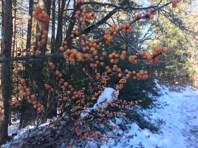 Winterberry in December's snow fall.