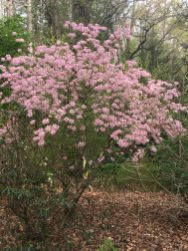 Shell pink azalea.
