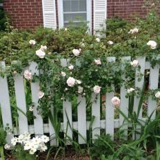 'New Dawn' rose