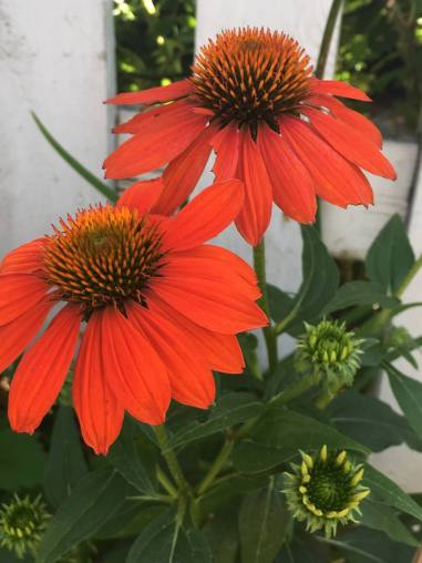 Echinacea, I tihnk from the Sombreo series