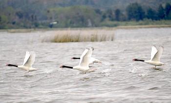 cisnes-volando-ríocruces