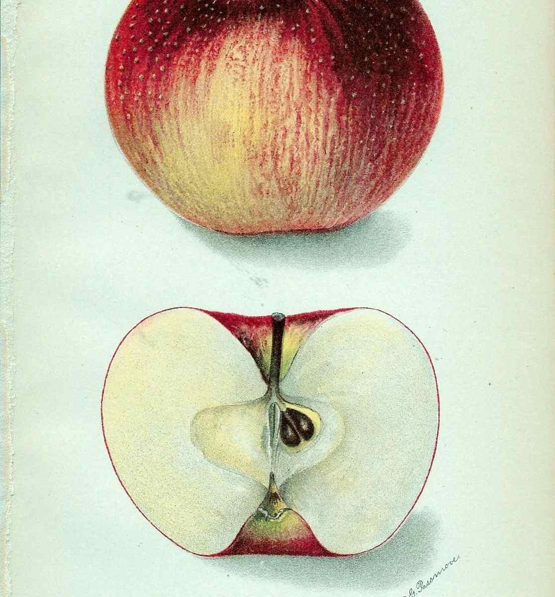 245 dept of ag carson apple 1905