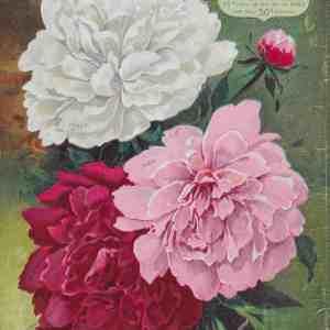#3913 H.W. Buckbee Paeonias, 1902