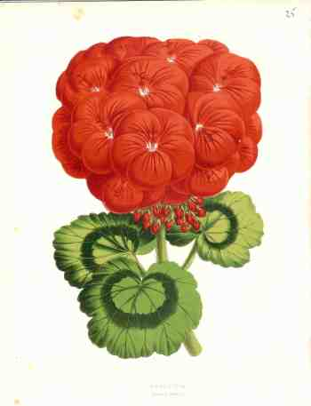 392 geranium