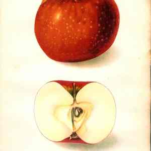 #452 Oliver Red Apple, 1906