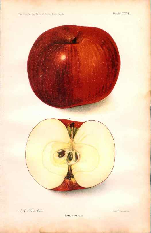 453 summer king apple dept of ag 1912