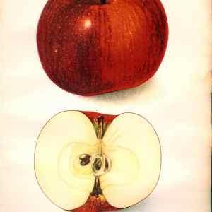 #456 Rabun Apple, 1906