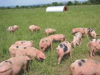 free-range-pigs
