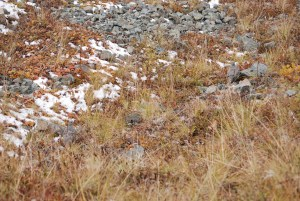 Autumn Ptarmigan