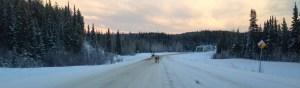 Caribou in the Yukon