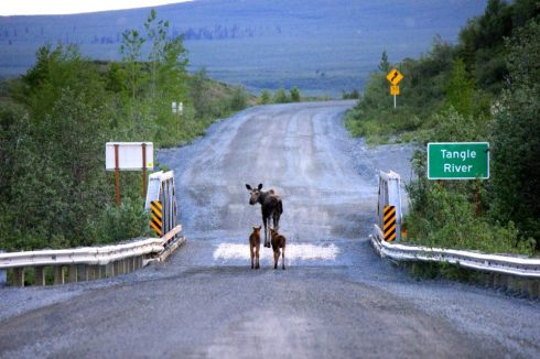 moose-Flickr-Bureau-of-Land-Management.jpg