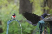 Rose-breasted Grosbeak and Common Grackle