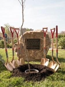 The Hippocrates tree sapling in a prepared hole surrounded by six shovels in front of it's interpretvie plaque.