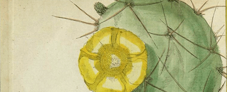 Hand-colored illustration of a cactus in bloom.