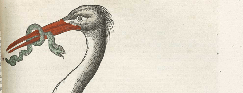 A hand colored illustration of a stork holding a snake in its beak.