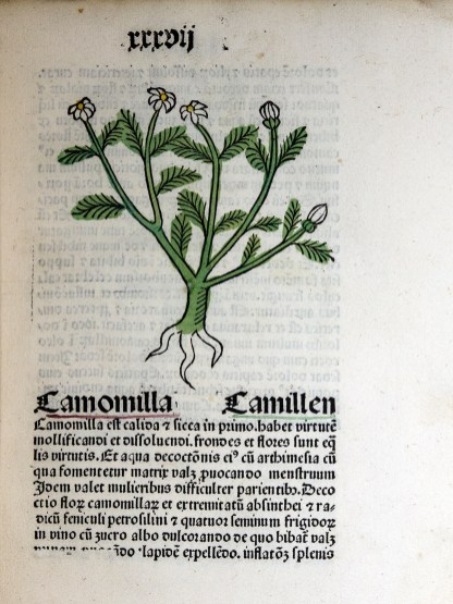 A colored woodcut of the bushy feathery shape of the plant with rudametary roots and white flowers.