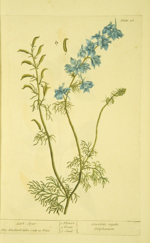 Botanical Illustration of the Larkspur plant including blue flower, thin leaved foliage, and seedpod.