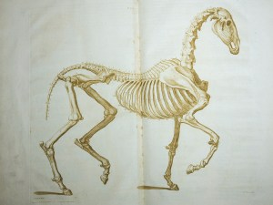 A copperplate engraving of the skeleton of a horse.