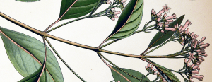 Bontanical illustration of a branch with large oval leaves and stems with clusters of small pink flowers.